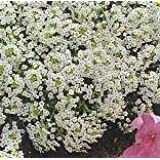 Premier Seeds Direct ALY01F Alyssum Carpet of Snow Annual Seeds (Pack of 4000)