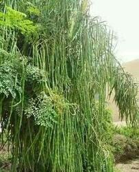 SK Organic Moringa Seeds PKM1 Hybrid (Drumstick Seeds) 500 gms (More Than 1800 Seeds)