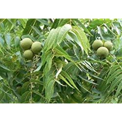 "Schwarznussbaum 50 Samen-Nüsse 'Juglans nigra' Winterharte """"Rarität"""""