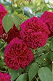 'William Shakespeare 2000' -R-, Englische Rose in A-Qualität Wurzelware