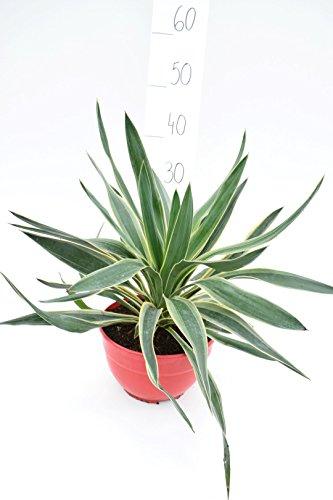 Besondere Yucca Raritäten - (gloriosa Variegata, ±35cm in Ø 20cm Topf)