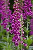 Seedeo Roter Fingerhut Digitalis purpurea 200 Samen