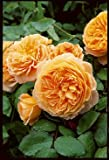 Englische Rose 'Crown Princess Margareta' -R- im 4 L Container