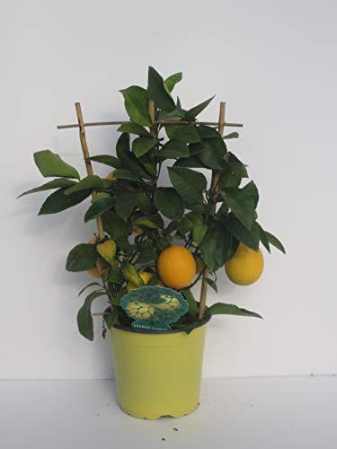 pianta vera di Limone bonsai spalliera v17