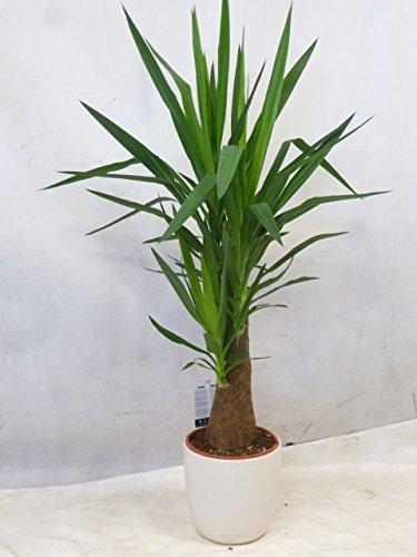 [Palmenlager] Yucca elephantipes'MAYA TREE' - Mutterpflanze - dicker Stamm - 110/120 cm//Zimmerpflanze Palme