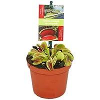 Venusfliegenfalle - Dionaea muscipula - 12cm Topf