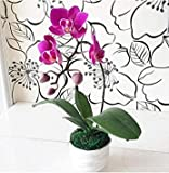 Exotische Blumen Orchid Seeds Cattleya Multicolor Schmetterling Orchidee Bonsai Monoflord Mini Garten Pflanze leicht anzubauen 200 PC/bag 9