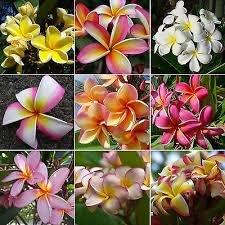 Heirloom 5 Graines Plumeria Couleurs mélangées Flower Colorful Fresh & semences de haute qualité Plumeria Rubra Frangipani