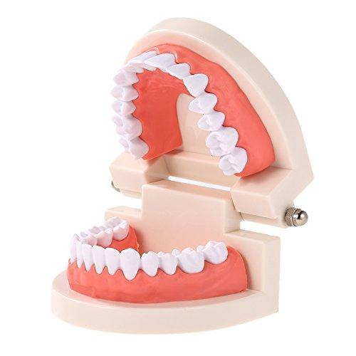 Anself Dental Kind Zähne Lehre Modell Adult Teeth Gums Standard Demonstration Tool für Kinder Studieren -