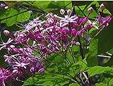Japanischer Losbaums - Clerodendrum trichotomum - Samen