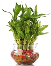 The Bonsai Plants - 2 Layer Lucky Bamboo Plant - Real Live Bamboo Plant Indoors Outdoors with Free Glass Pot for Gift/Gifting Purpose/Options - Low Maintenance - Perfect Gift - For Home or Office
