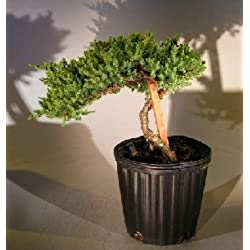 bonsaiboy Pre Bonsai Wacholder Bonsai Baum–Spieler setzen (Wacholder Scheinbeere Nana)