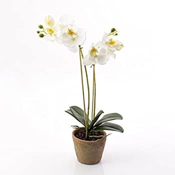orchidee 41