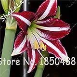 Vista 2 Stück Amaryllis-Zwiebeln, Hippeastrum-Blumenzwiebeln, (keine Samen) Bonsai-Blumenzwiebeln, Barbados-Lilien im Topf Hausgarten-Anlage 9