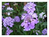 FLOWER CANDYTUFT IBERIS UMBELLATA DWARF FAIRY MIX 750 SEEDS