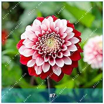 VISTARIC 15: 100 Pcs mixte vrai Cactus Seeds, Mini Cactus, Figuier, Graines Bonsai fleurs, vivaces herbes Plante en pot pour jardin 15