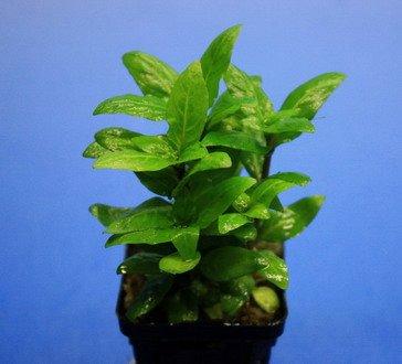 WFW wasserflora Kriechende Staurogyne/Staurogyne spec. Rio Cristalino *NEUHEIT*