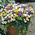 Krokus-Zwiebeln, 50 Stück von UK-Gardens - Du und dein Garten