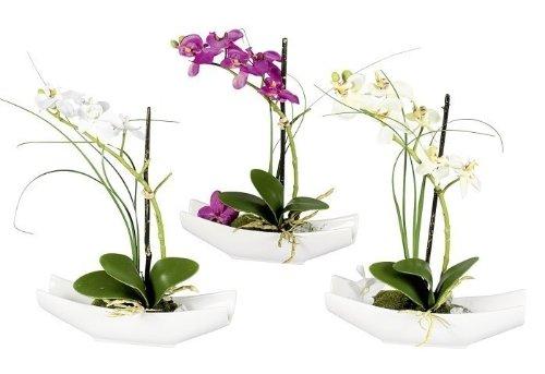 Phalaenopsis i.Schale purple