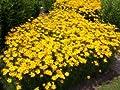 Mädchenauge 'Grandiflora' - Coreopsis verticillata 'Grandiflora' - Staude von Native Plants von Native Plants auf Du und dein Garten