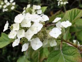 Eichblatt Hortensie 'Snowflake' - Hydrangea quercifolia 'Snowflake' - Hortensie von Native Plants