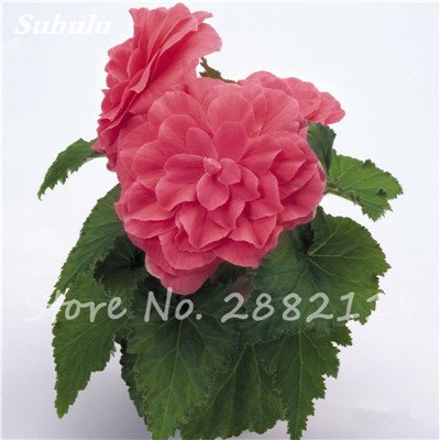 Graines Graines Begonia Double Dark Red Flower Begonia Tuberosa 50