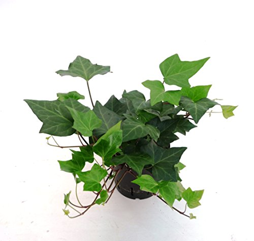 Efeu, Hedera helix Montgomery, Zimmerpflanze in Hydrokultur, 13/12er Kulturtopf, 18 - 25 cm - Hedera Helix Efeu