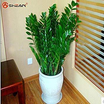 Zamioculcas zamiifolia Semi soldi Albero piante Semi 100pcs / bag
