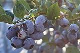 Heidelbeere Blueroma® - 3j, sehr grosse, kräftige, robuste Pflanze, im 15 L Topf