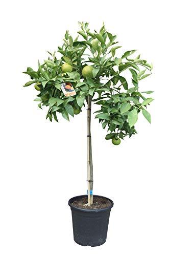 Citrus Sinensis, orangenbaum, 160cm