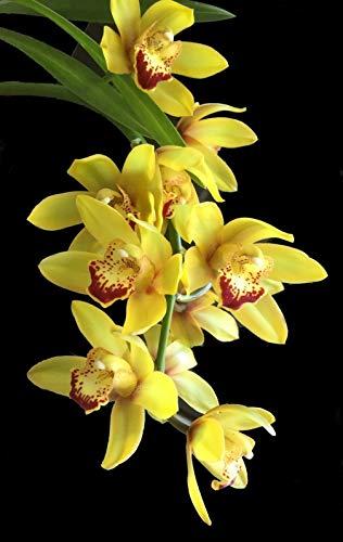 FERRY Bio-Saatgut Nicht nur Pflanzen: SM (SML): Cymbidium_Beauty Sound_User freundlich Orchidee EZ wachsen und blühen Divisionen