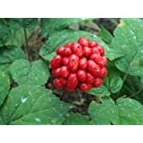 Panax ginseng - Ginseng - 5 semillas