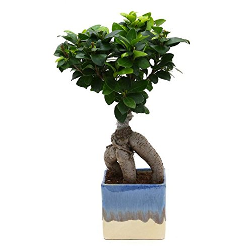 Exotic Green Exclusive Ficus 3 Year Old Bonsai Plant White & Blue Pot at amazon