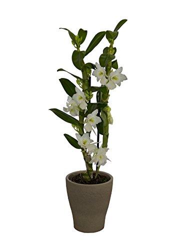 Orchidee nobile, Traubenorchidee weiß im Nature-Topf