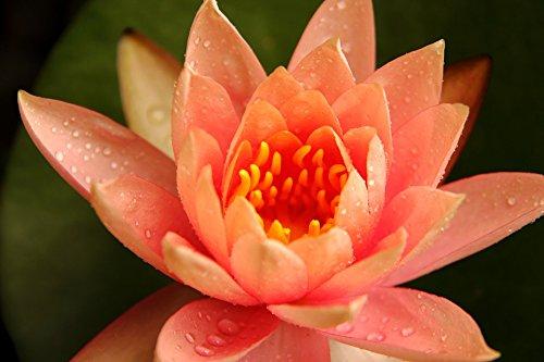 Futaba Orange Bowl Lotus Seeds - 5 Pcs