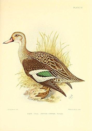 Sergeant Charles G. Davis - The Game-Birds & Water-Fowl of South Africa 1912 Cape Teal Kunstdruck (45,72 x 60,96 cm) -