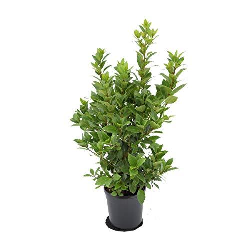 echter Gewürzlorbeer - Laurus nobilis 100-110 cm sehr sehr buschig