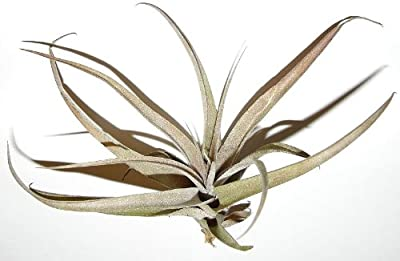 1 Tillandsia cacticola, Tillandsien für Terrarien, Aufsitzerpflanzen von 2013 - Du und dein Garten