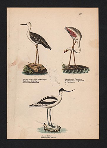Stelzenläufer pied stilt Flamingos Vogel Vögel bird birds Lithographie