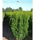 Fruchtende Bechereibe Eibe Taxus media Hicksii 140-160 cm, 30x Heckenpflanze, inkl. Versand