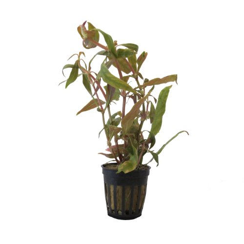 RiBa Alternanthera lilacina - Lilablättriges Papageienblatt - Wasserpflanze