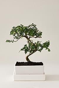 Bonsai Pfefferbaum | Zanthoxylum piperitum mit Schale und Untersetzer als Tischdeko in Erde | EVRGREEN