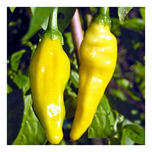 Lemon Drop - Chili scharf - Peperoni - 10 Samen