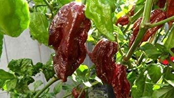 Farmerly 15 Seeds of Black Naga Morich Heirloom Hot Chocolate Chili Pepper Extreme Rare