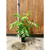 BioTech Vedhathi Farms Curry Leaf Live Plant Pot Not Included-Polythene Bag