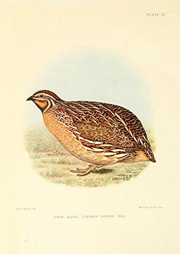 Sergeant Charles G. Davis - The Game-Birds & Water-Fowl of South Africa 1912 Cape Quail Kunstdruck (45,72 x 60,96 cm) -