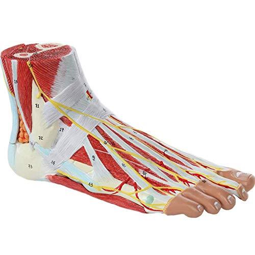 ZQDL Medizinisches anatomisches Fußs kelett Modell mit Bändern, Muskeln, Nerven und Arterien, 9 Teile, tatsächliche Größe