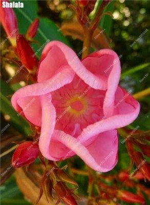 150pcs/bag exotic giapponese oleander semi rare blooming bonsai in vaso giardino piante ornamentali per vasi da fiori, 1, show in picture