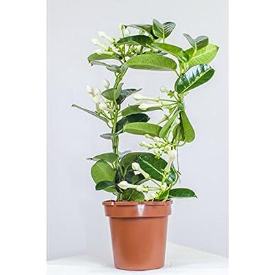 Stephanotis ,Kranzschlinge ,Madagaskar-Jasmin 45cm +/-, Zimmerpflanze