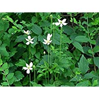PlenTree Anemone Virginiana X 20 Fresh Seed